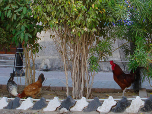 Chickens in Dubai