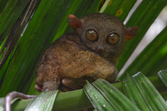 Tarsiers – The unofficial mascot of Bohol