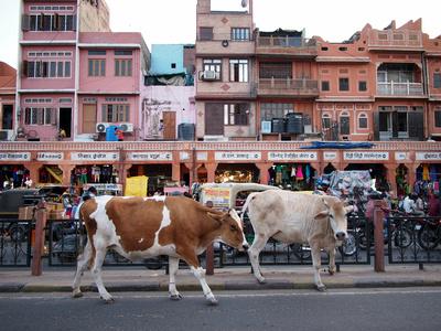 Urban Cows, Jaipur – India