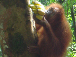 Orangutan with Bananas